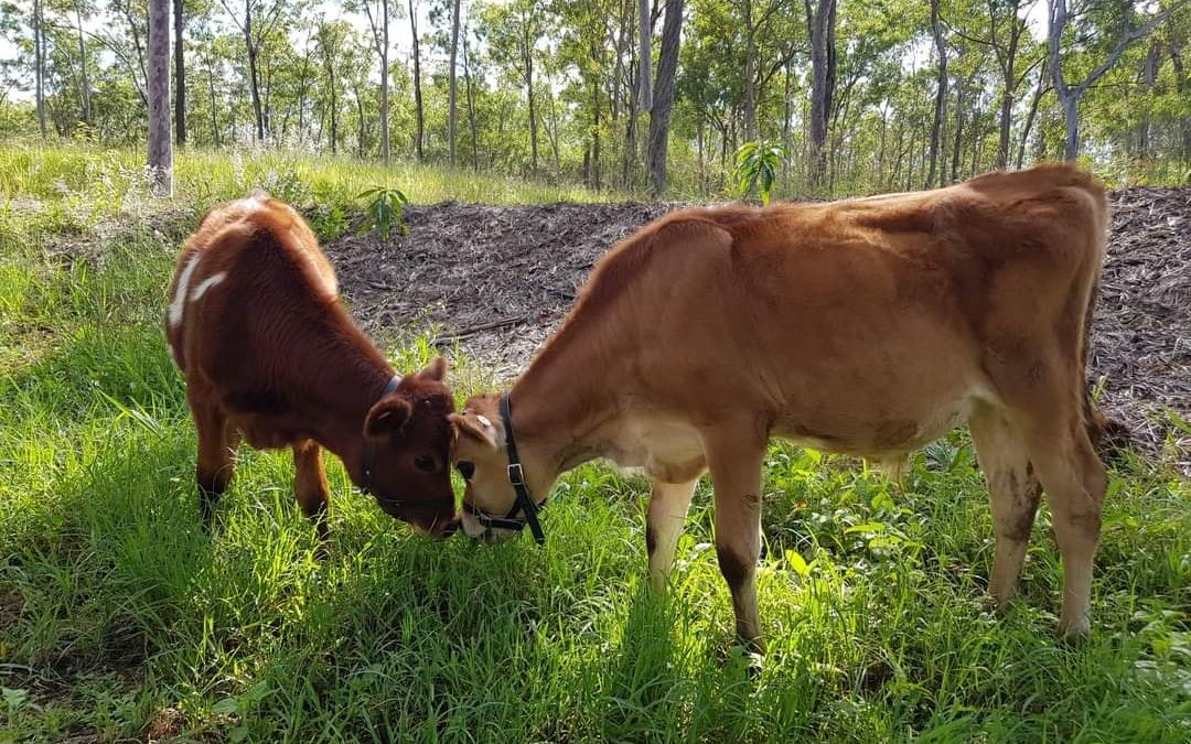 What's the difference between a bull and a steer?