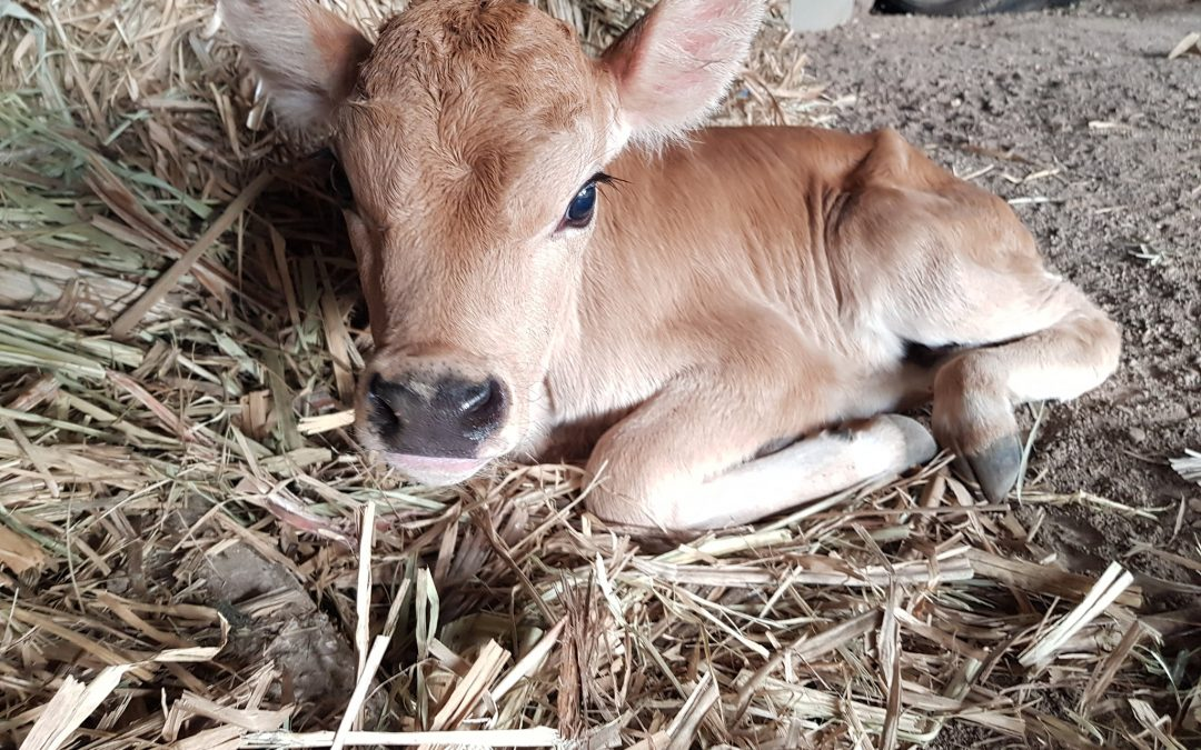 Why We Have So Many Calves Coming Into Our Care