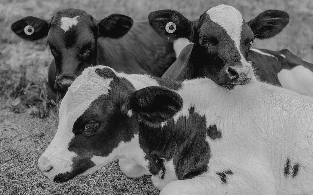 Announcement: We Are Not Affiliated with Til the Cows Come Home Sanctuary in New Zealand