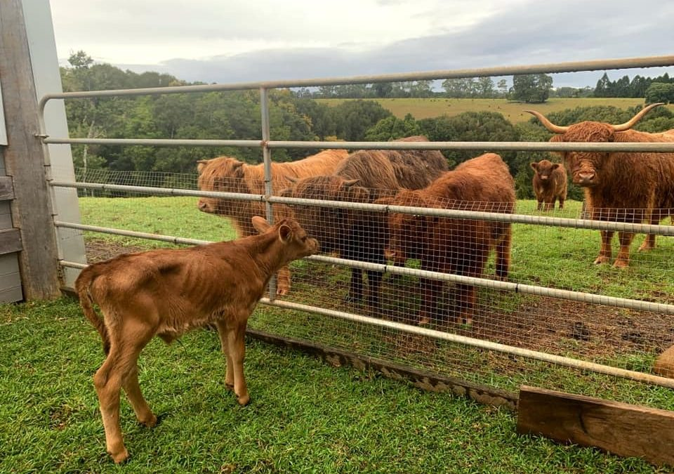 Why male calves need to be desexed before adoption