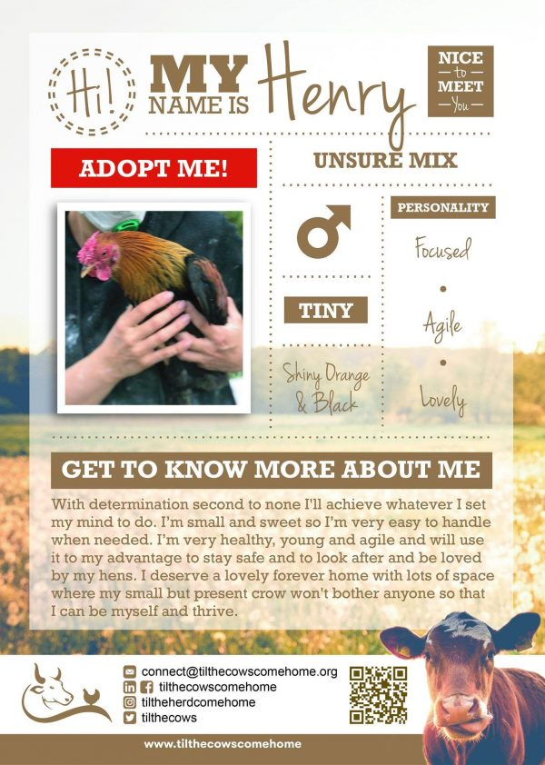 Henry rooster info graphic with description
