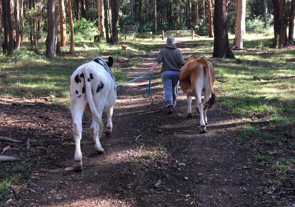 Halter Training your Cow/Calf.