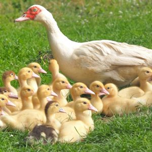Photo of mother and baby rescue ducks