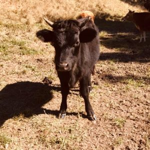 Picture of an Australian rescue cow for adoption - Gladys