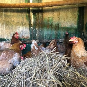 seven rescue hens ready for adoption